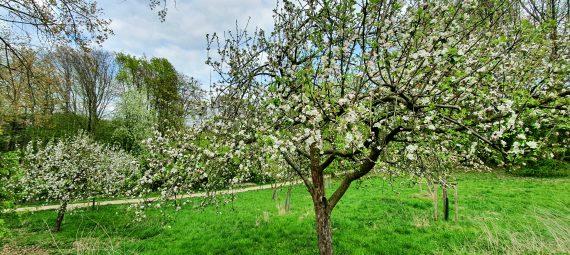 Frühlingsblüten am Apfelbaum an den Grummer Teichen